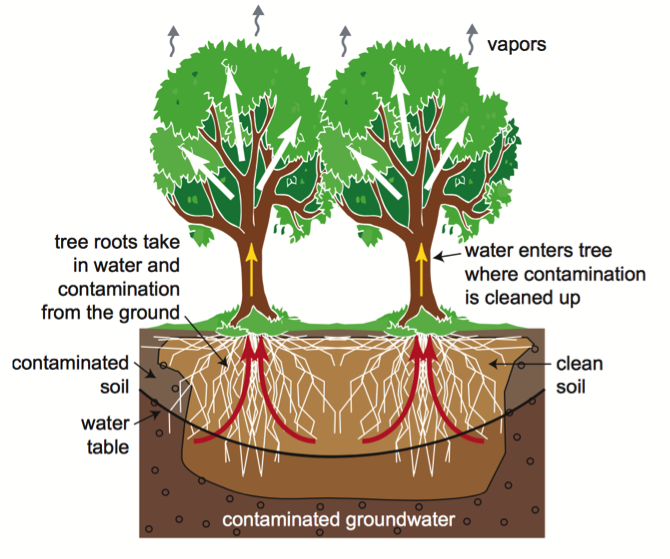 Tree phytoremediation