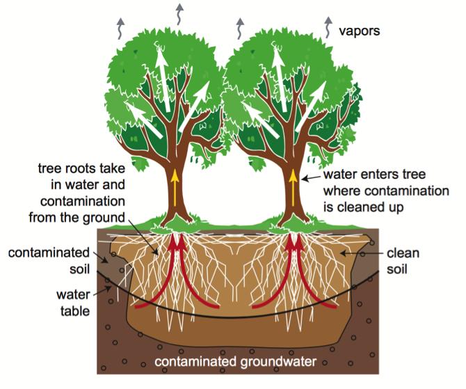 Tree phytoremediation