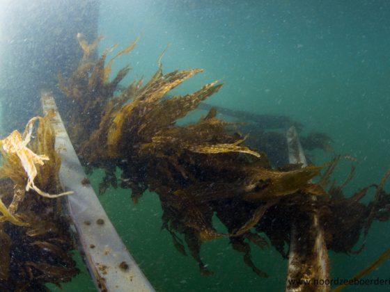 Is zeewier een wondermiddel?