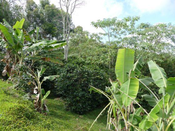 Agroforestry en koffie